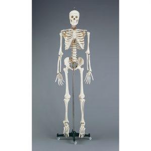 CH10 300x300 - Skeleton, Budget Bucky w/ Stand & Study Guide